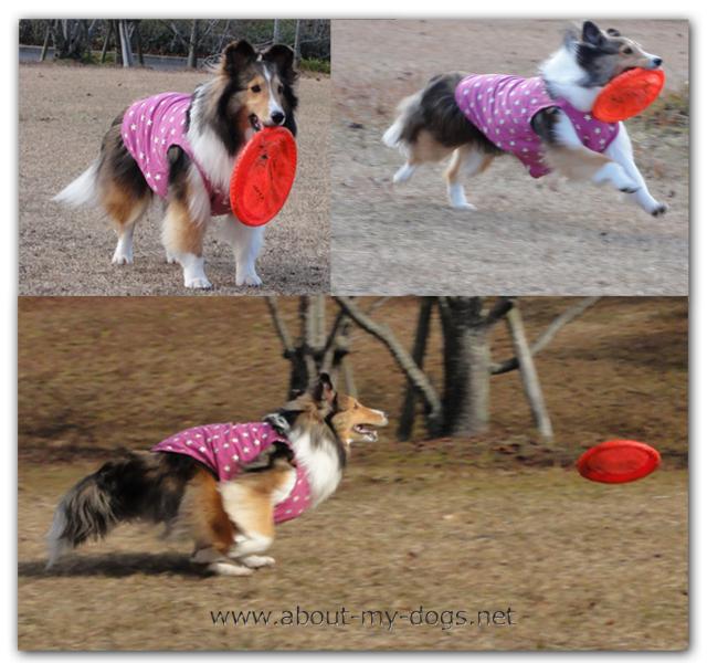 お客様の西岡様の愛犬シェルティーの「レイ」ちゃん5歳の女の子